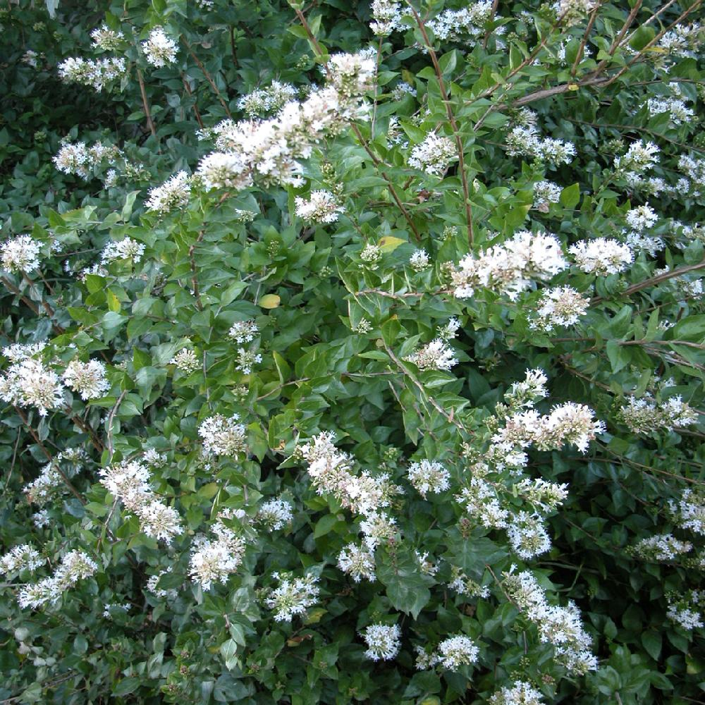 ABELIA chinensis 'Selection'  image 4