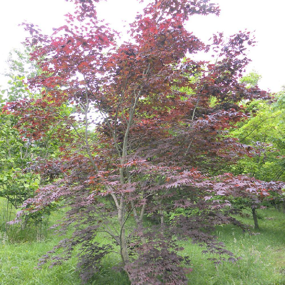 Acer palmatum 39 bloodgood 39 erable du japon p pini res lepage bretagne bord de mer - Erable du japon bloodgood ...
