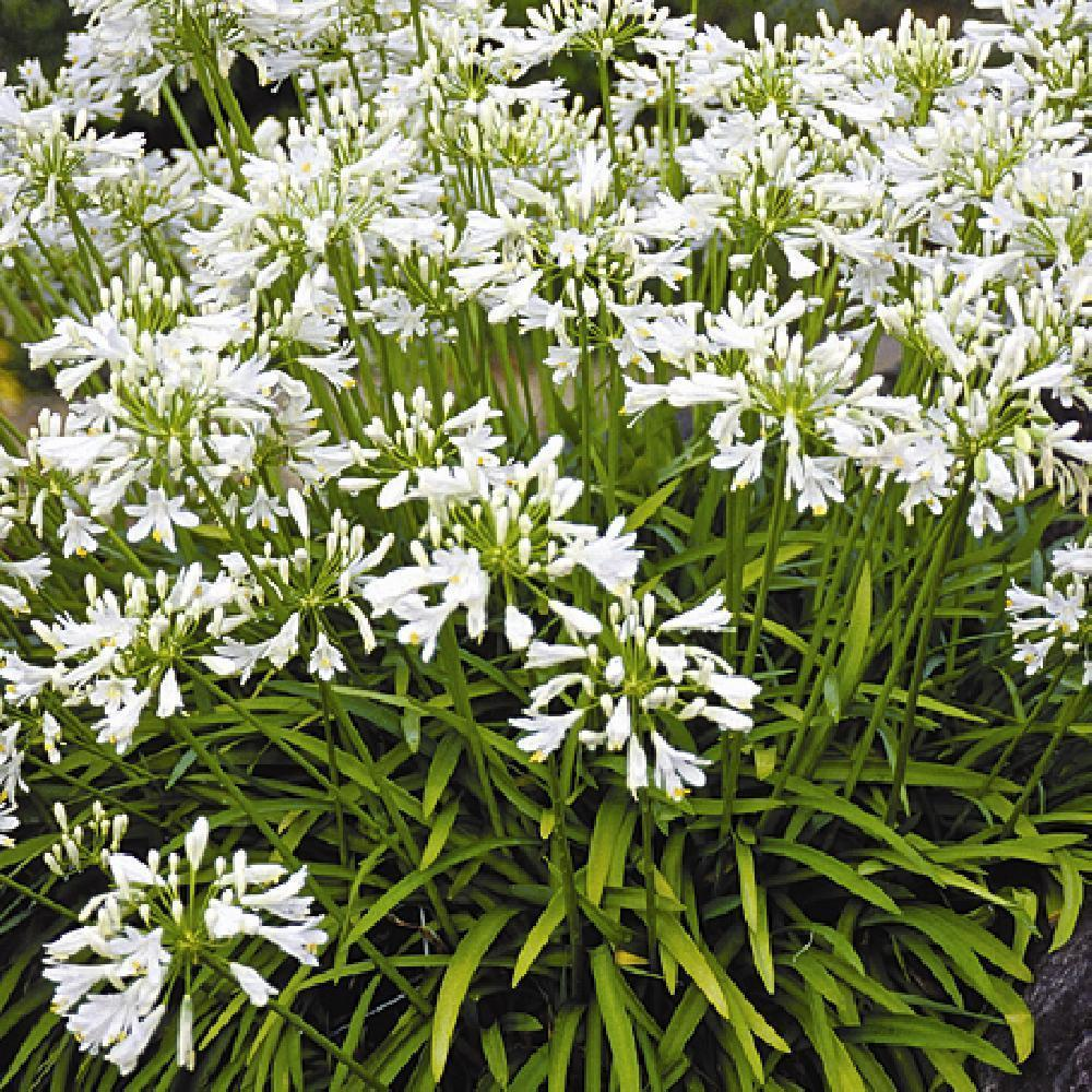 AGAPANTHUS 'Getty White'  image -1