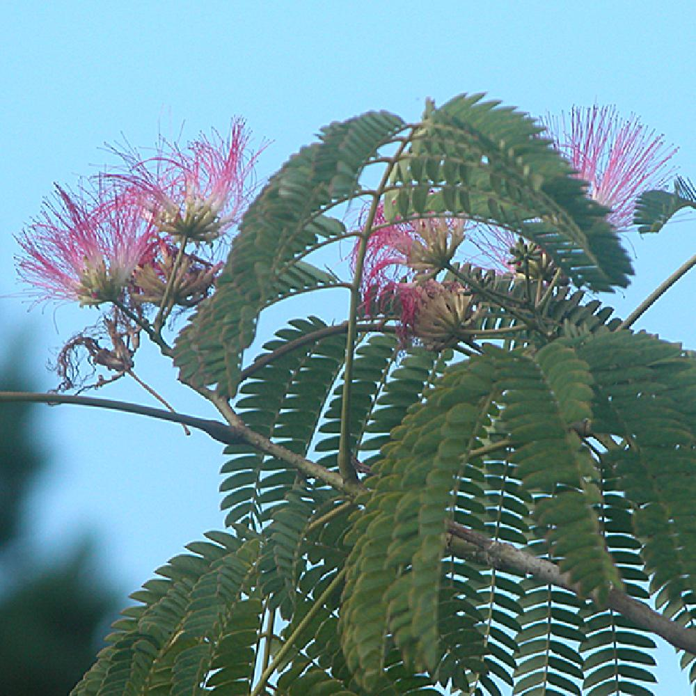 Albizia julibrissin 39 ombrella 39 arbre soie acacia de for Acacia de constantinople prix