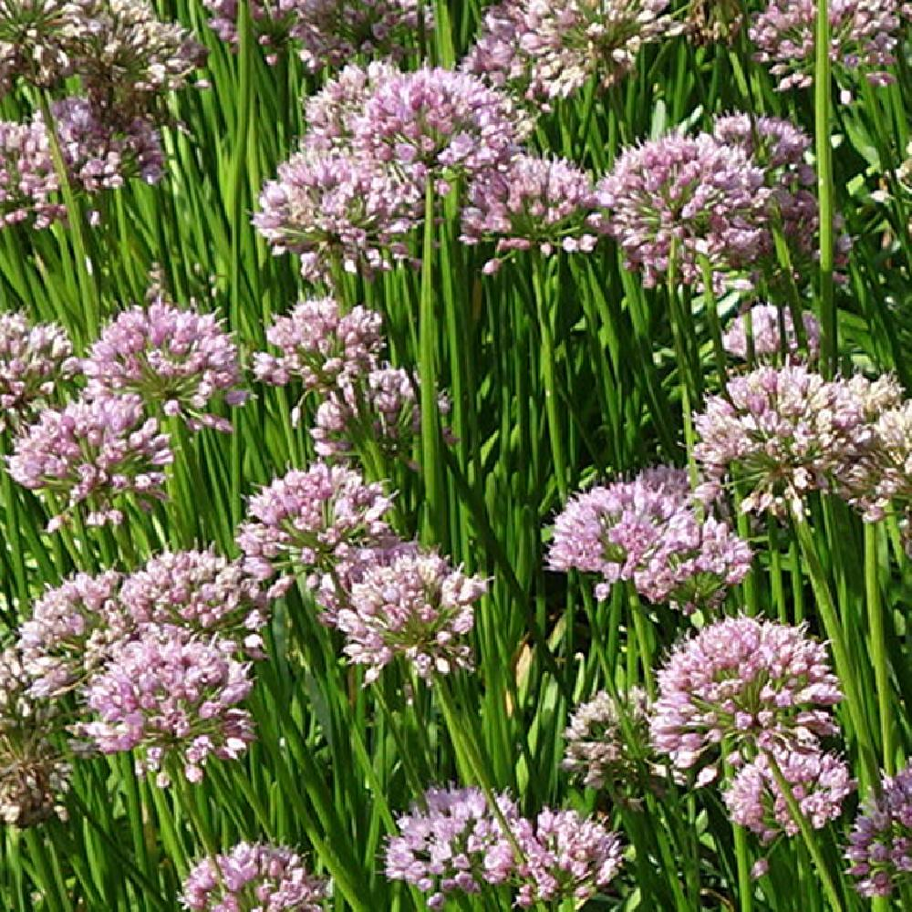 ALLIUM 'Summer Beauty'  image 1