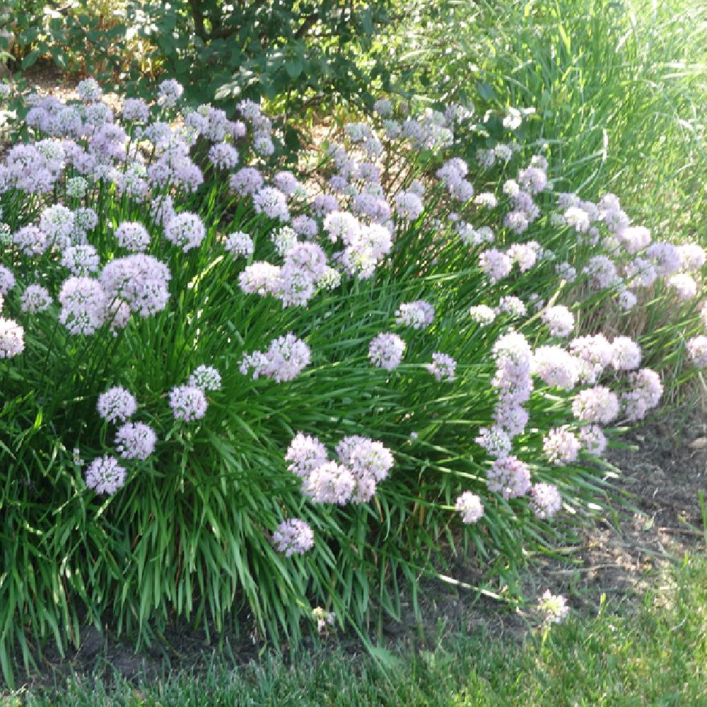 ALLIUM 'Summer Beauty'  image 2