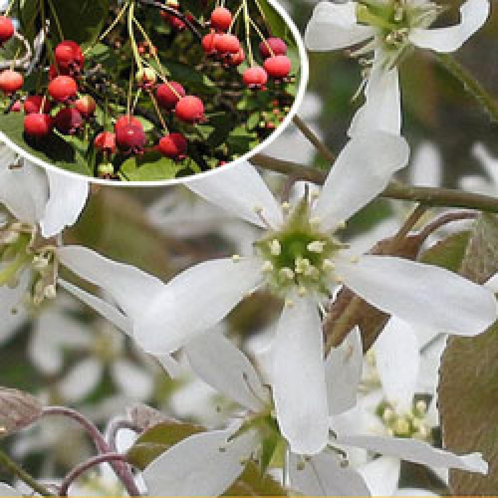 AMELANCHIER canadensis  image 1