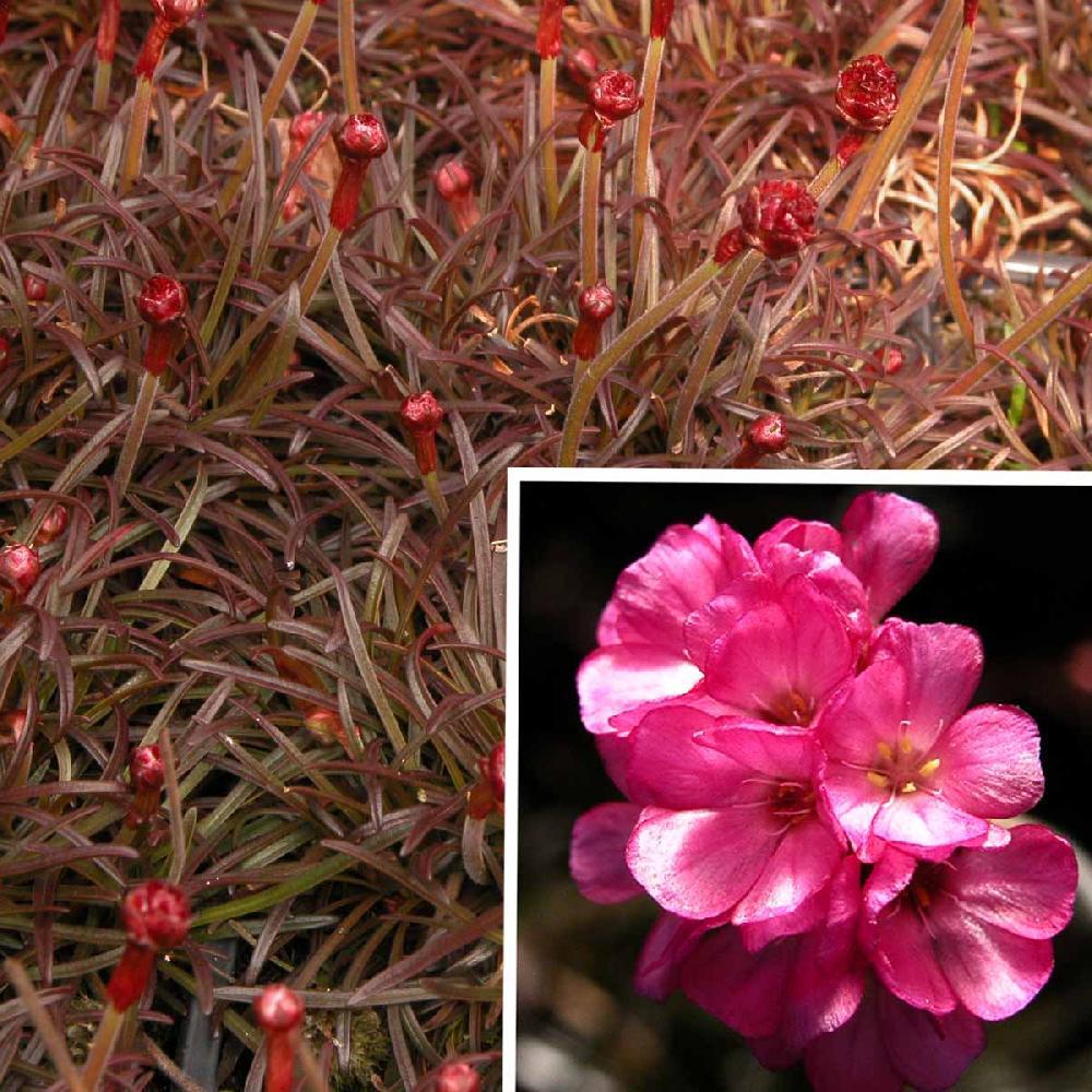 Armeria maritima rubrifolia pot 1 litre gazon d/'espagne