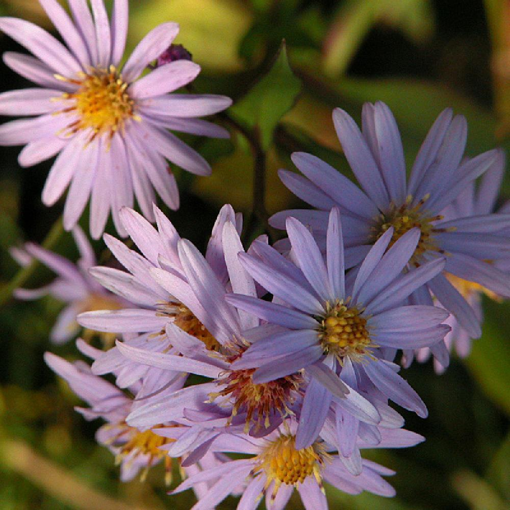ASTER cordifolius 'Little Carlow'  image 1
