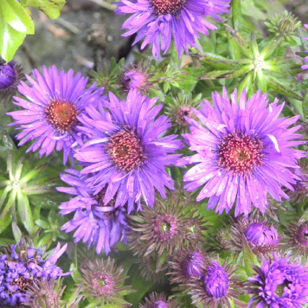ASTER na 'Purple Dome'  image 1