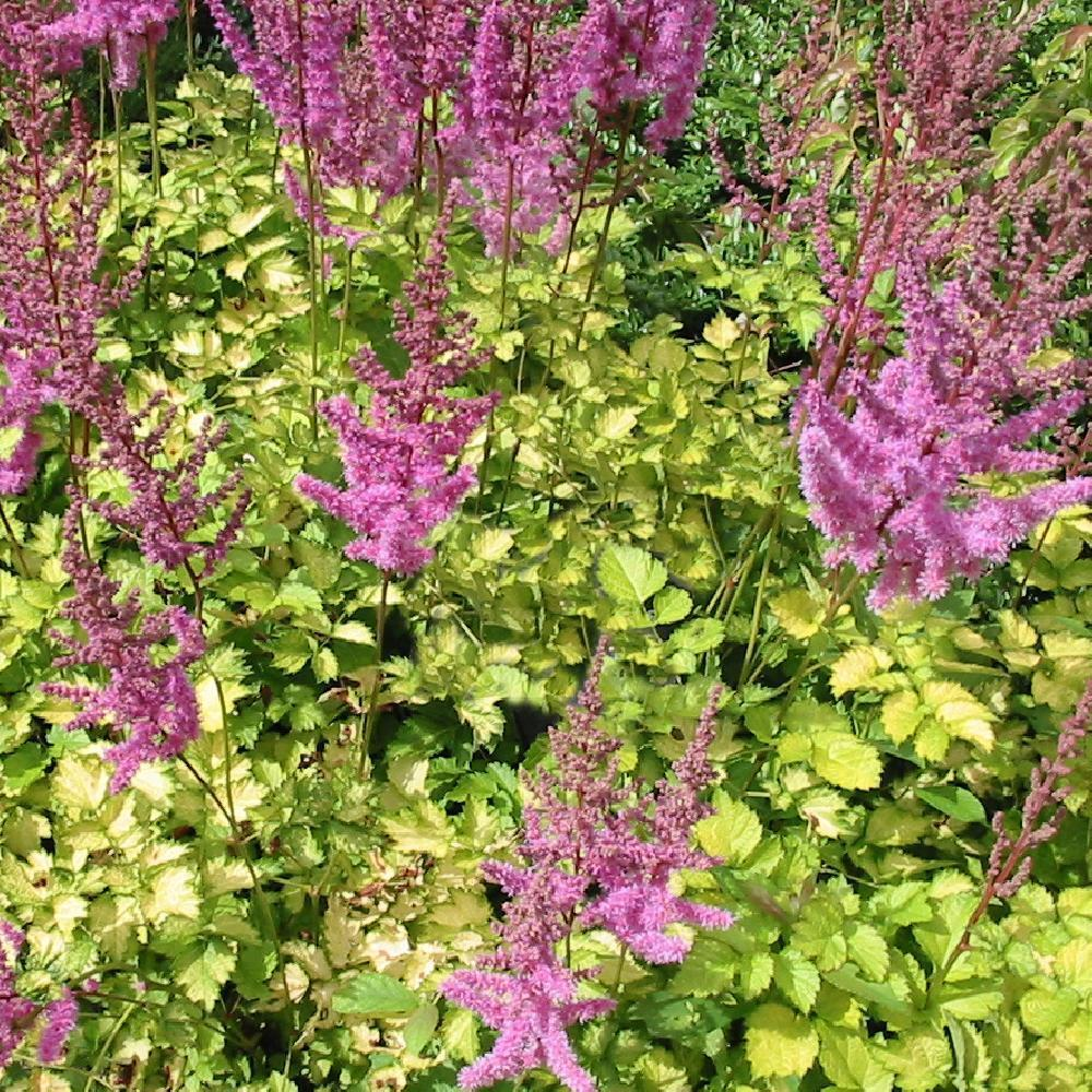 ASTILBE 'Color Flash Lime' ® ('Beauty of Lisse')  image 1