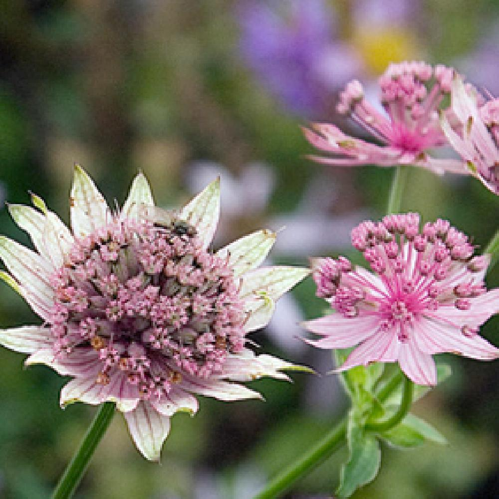 ASTRANTIA major 'Pink Pride' Astrance image 1