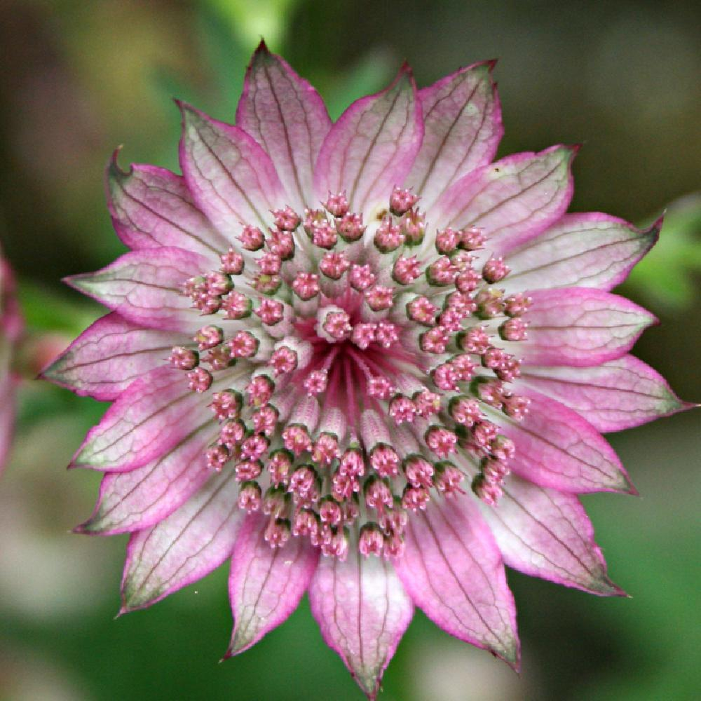 ASTRANTIA major 'Roma' Astrance image 1