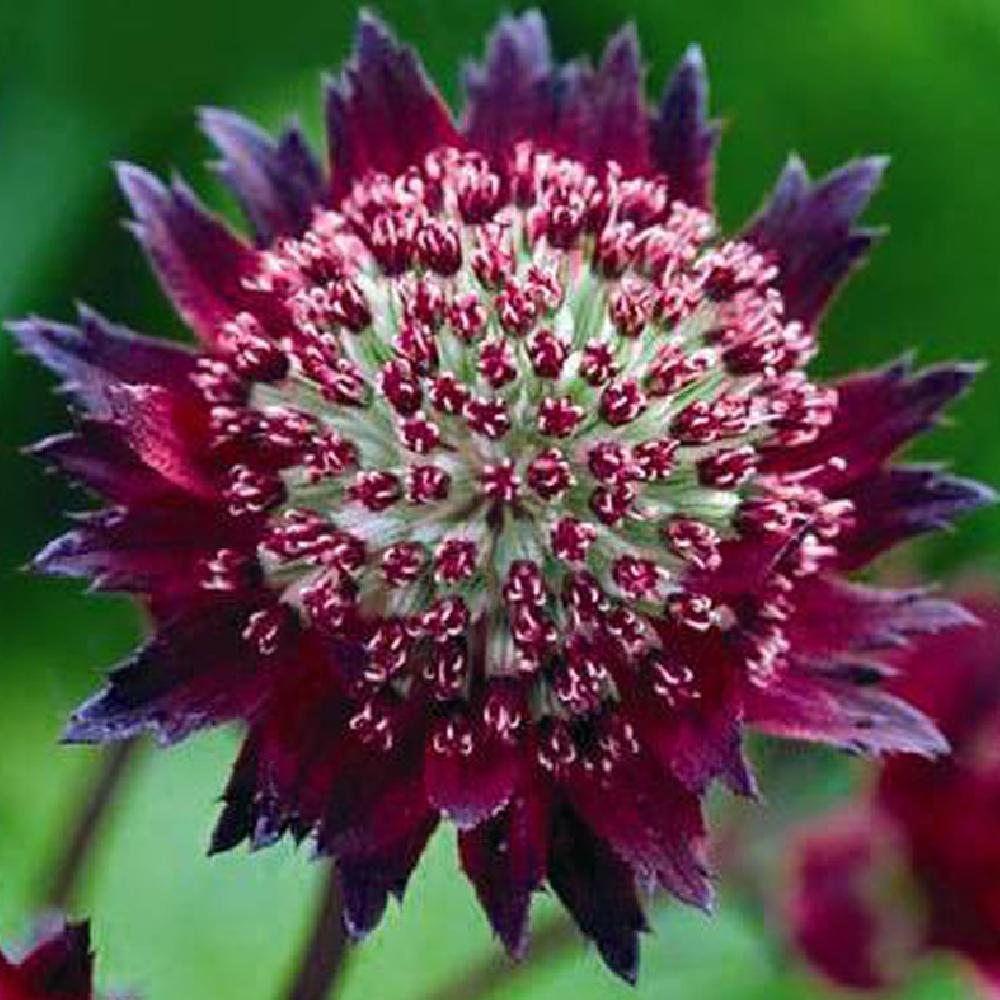 ASTRANTIA 'Moulin Rouge' Astrance image -1