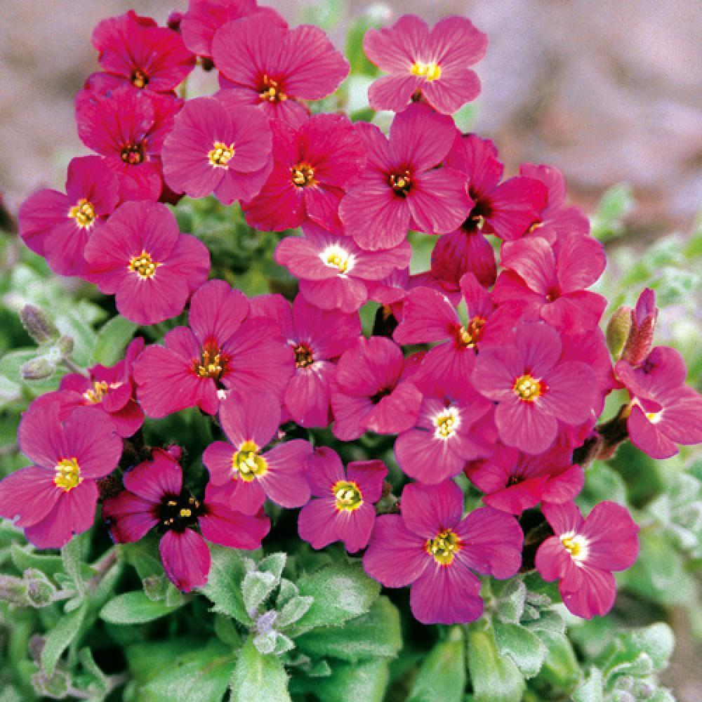 AUBRIETA 'Royal red'  image 1