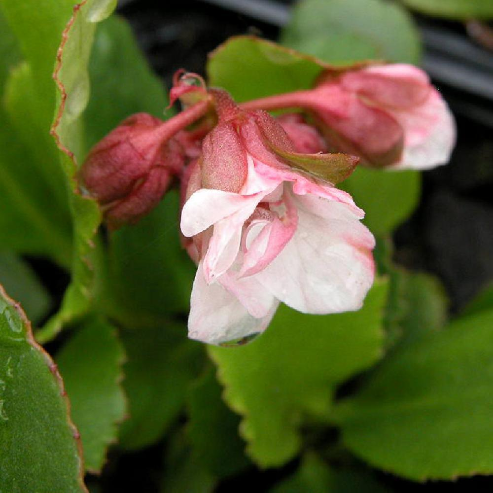 BERGENIA 'Pink Dragonfly' Plante des savetiers image 1