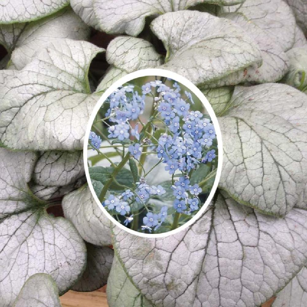 brunnera sea heart entretien