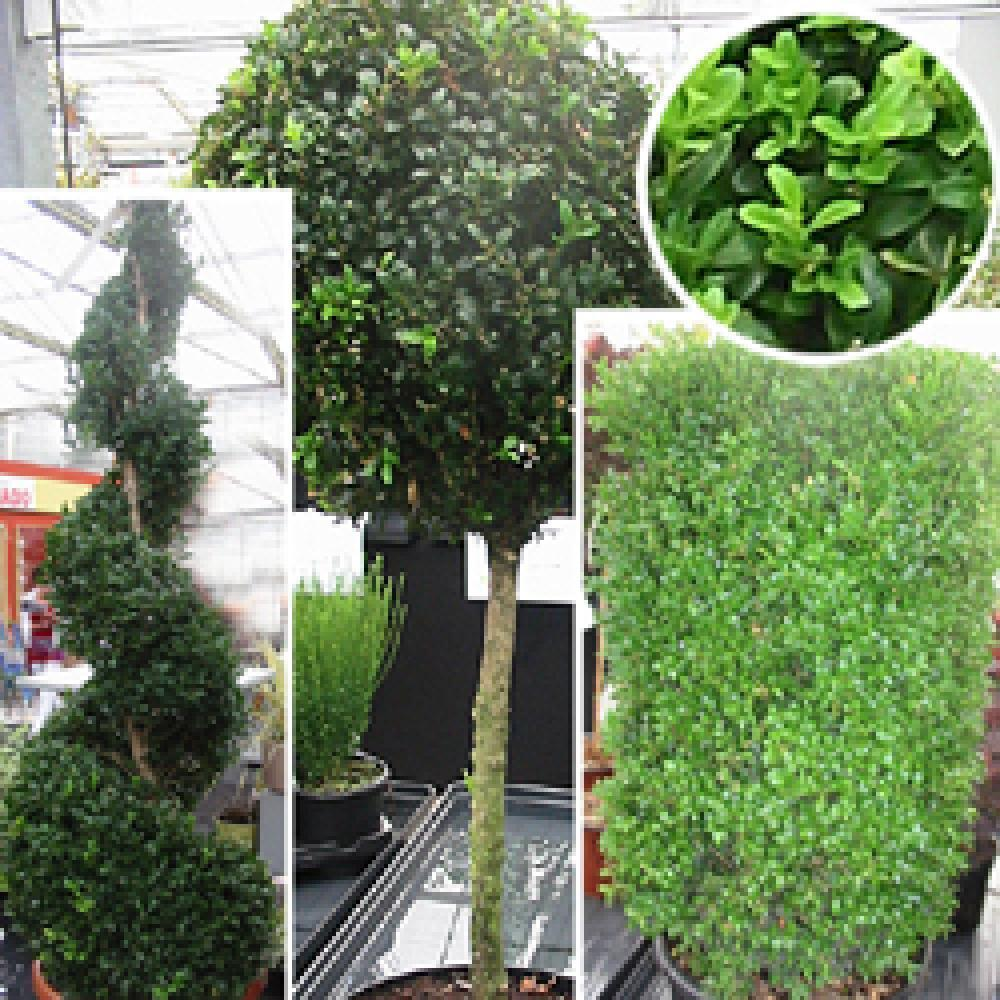 BUXUS sempervirens Buis commun image 1