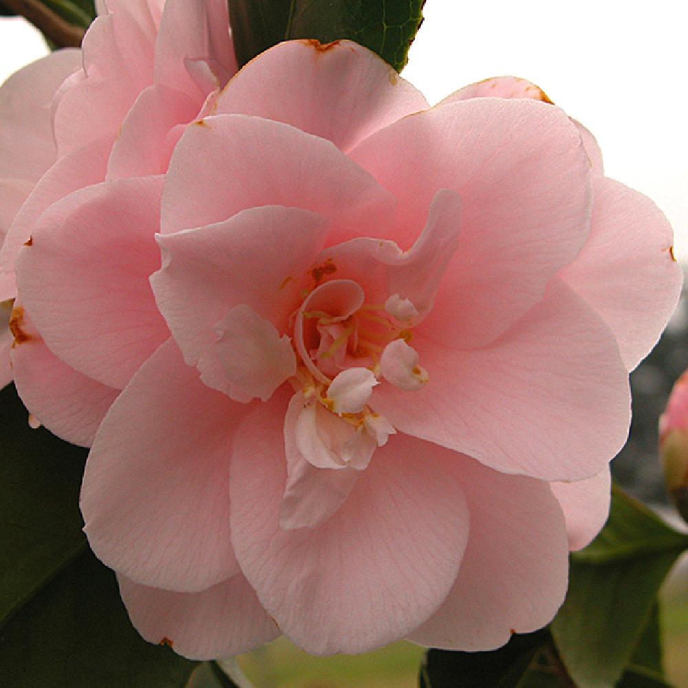 Camellia Japonica Fleur De Pecher Camelia Du Japon Camellia