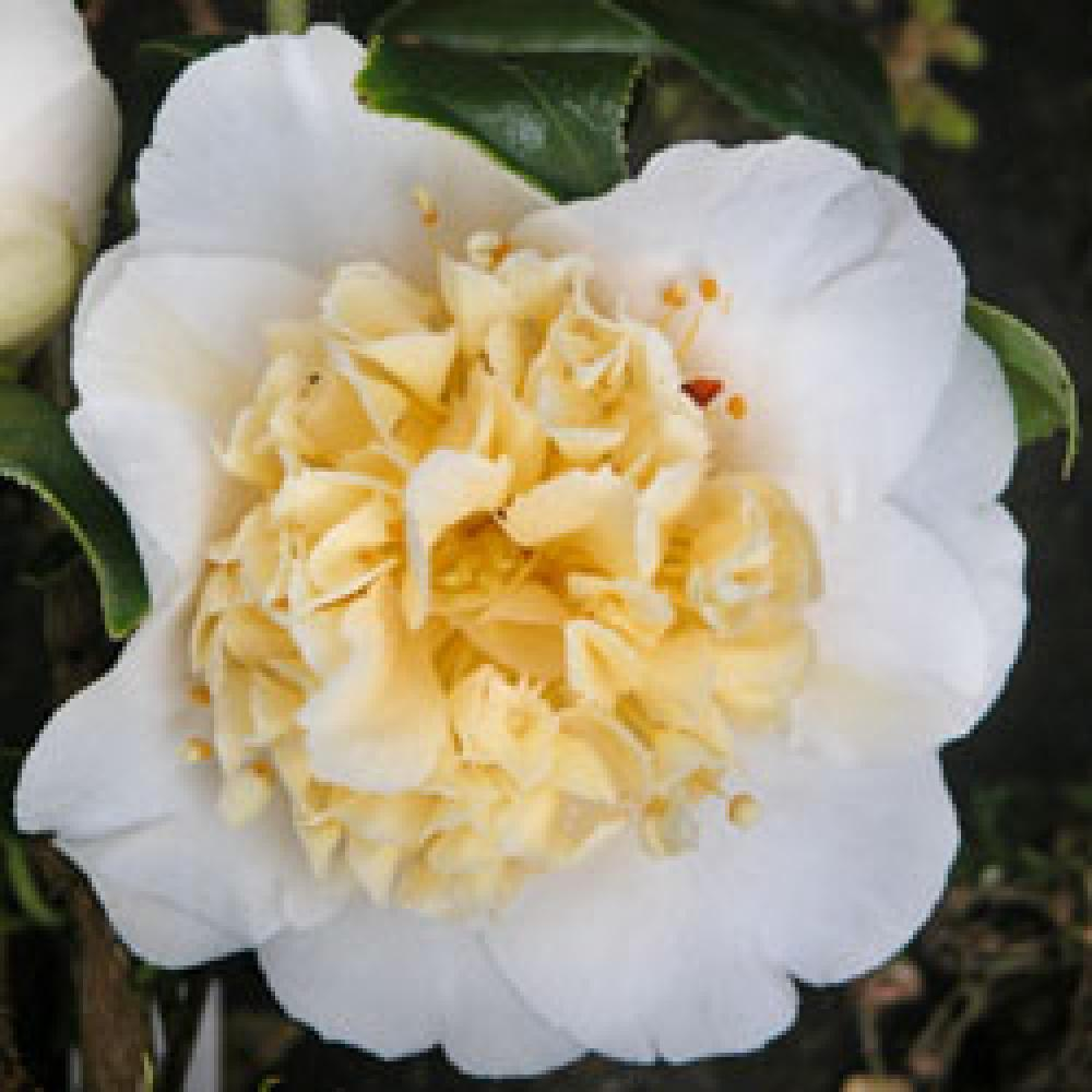 CAMELLIA x williamsii 'Jury's Yellow' Camélia image 1