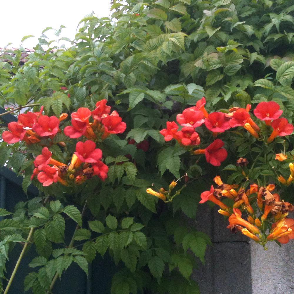 Campsis radicans 39 stromboli 39 bignone de virginie stromboli jasmin de virginie p pini res - Jasmin de virginie etoile ...