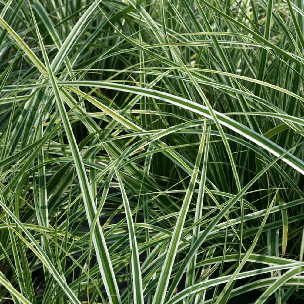 CAREX oshimensis 'Everest' ('Fiwhite') ®  image 1
