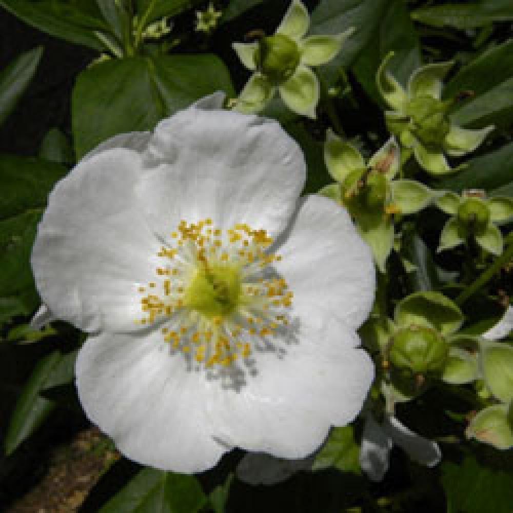 CARPENTERIA californica 'Bodnant' Carpenteria de Californie image 1