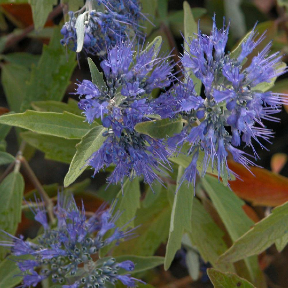 CARYOPTERIS x clandonensis 'Heavenly Blue' Barbe-bleue image 1