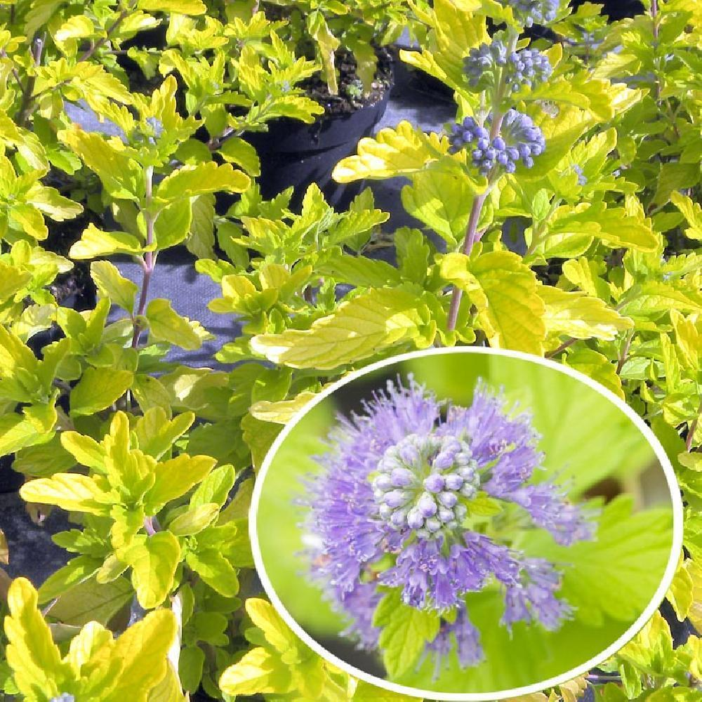 CARYOPTERIS x clandonensis 'HINT OF GOLD'® Barbe-bleue image 1