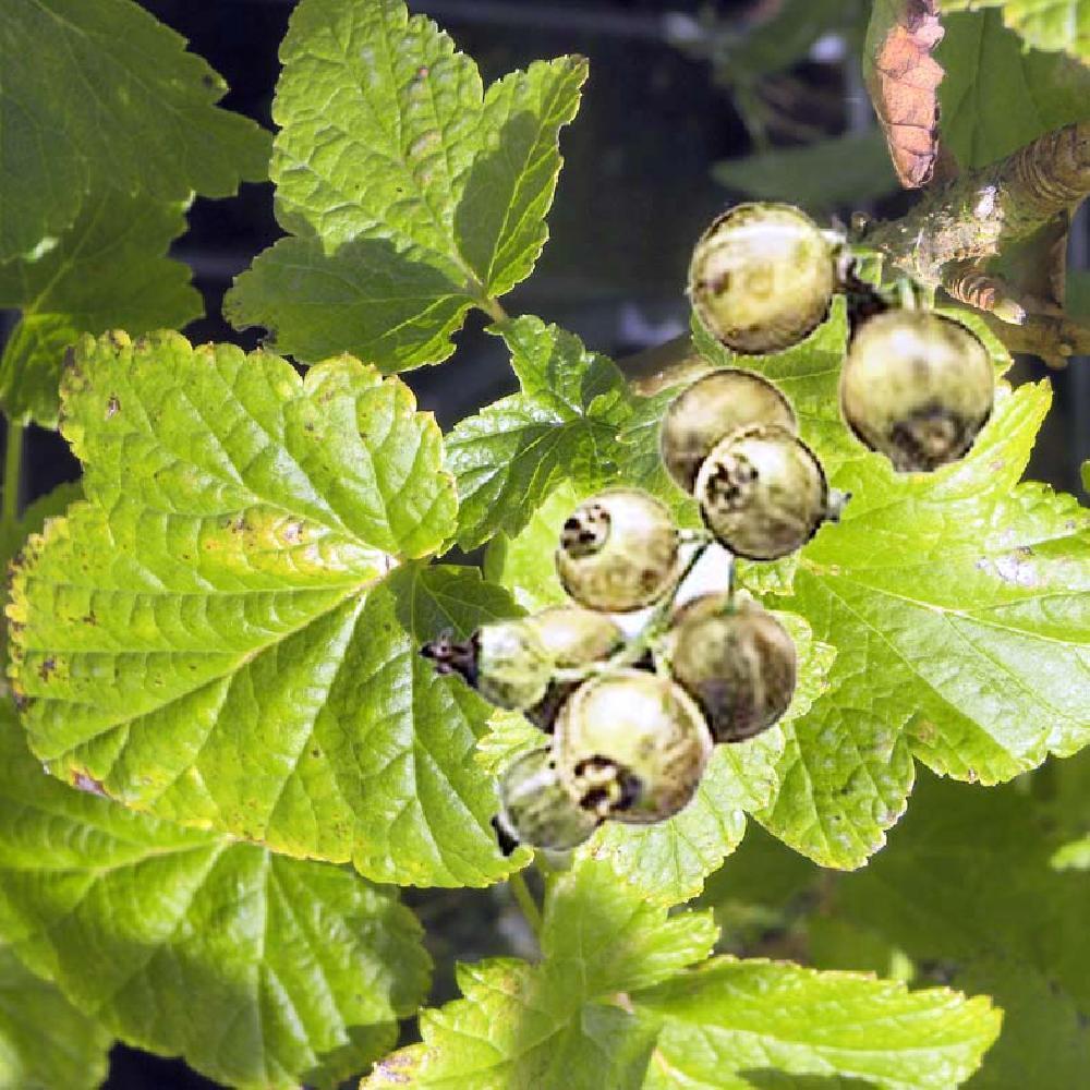 Cassissier Ojeblanc Ribes Nigrum Cassis Blanc Ribes Nigrum