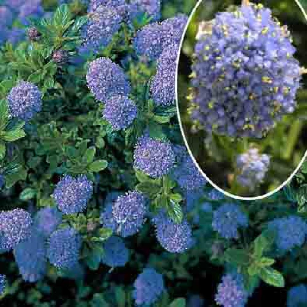ceanothus 39 blue mound 39 lilas de californie ceanothe. Black Bedroom Furniture Sets. Home Design Ideas