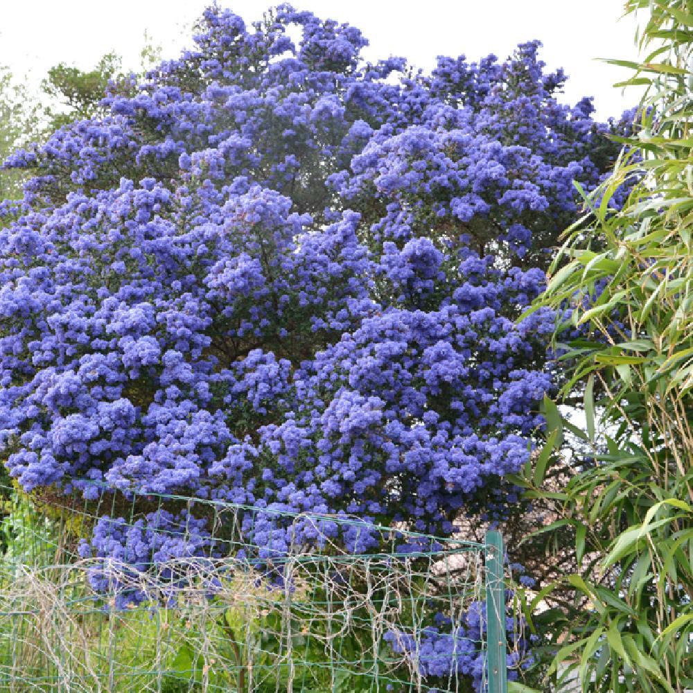Arbuste Pour Terrain Calcaire ceanothus 'concha'