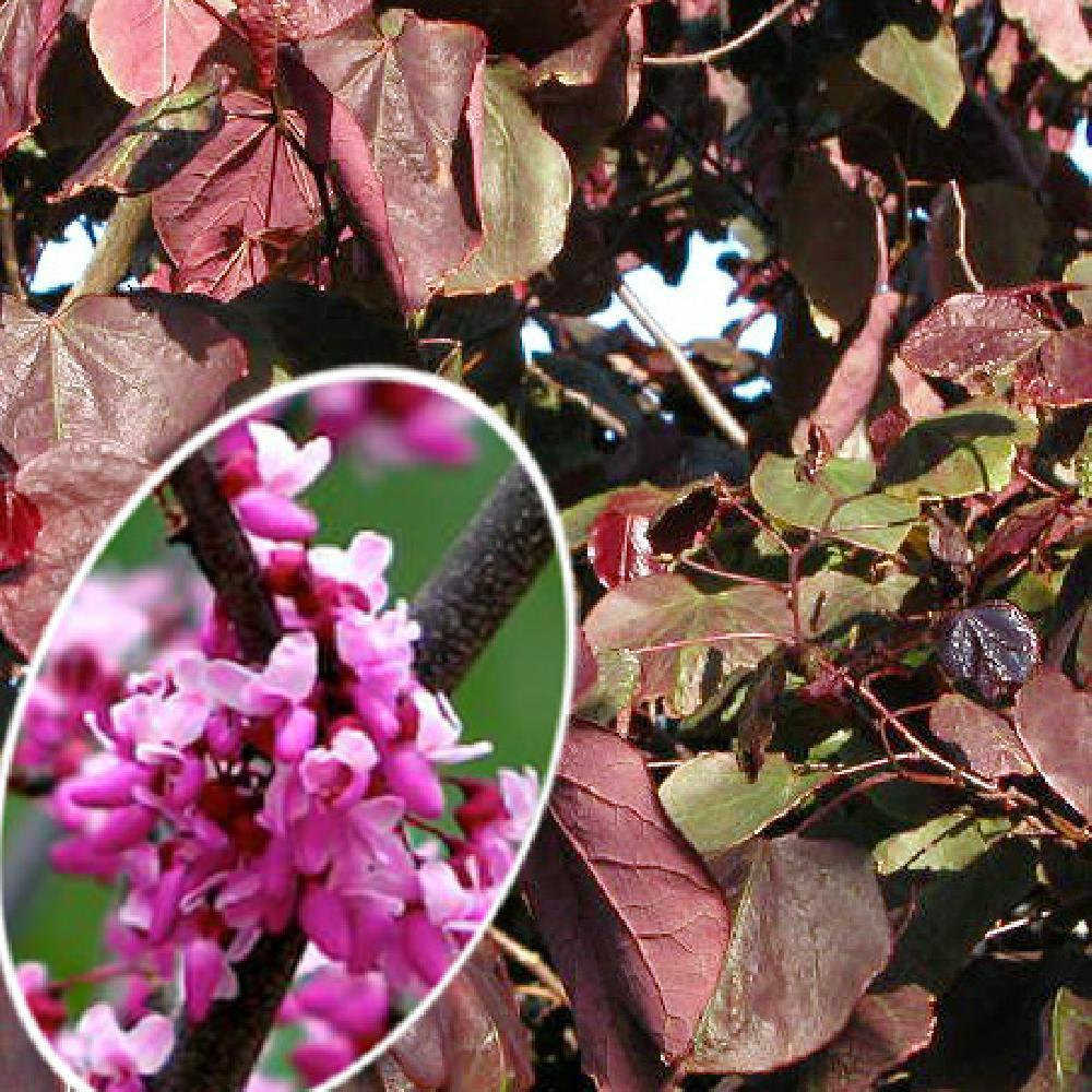 CERCIS canadensis 'Forest Pansy' Gainier du Canada image 1