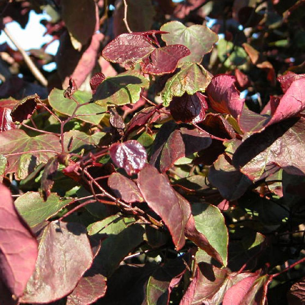 CERCIS canadensis 'Forest Pansy' Gainier du Canada image 2