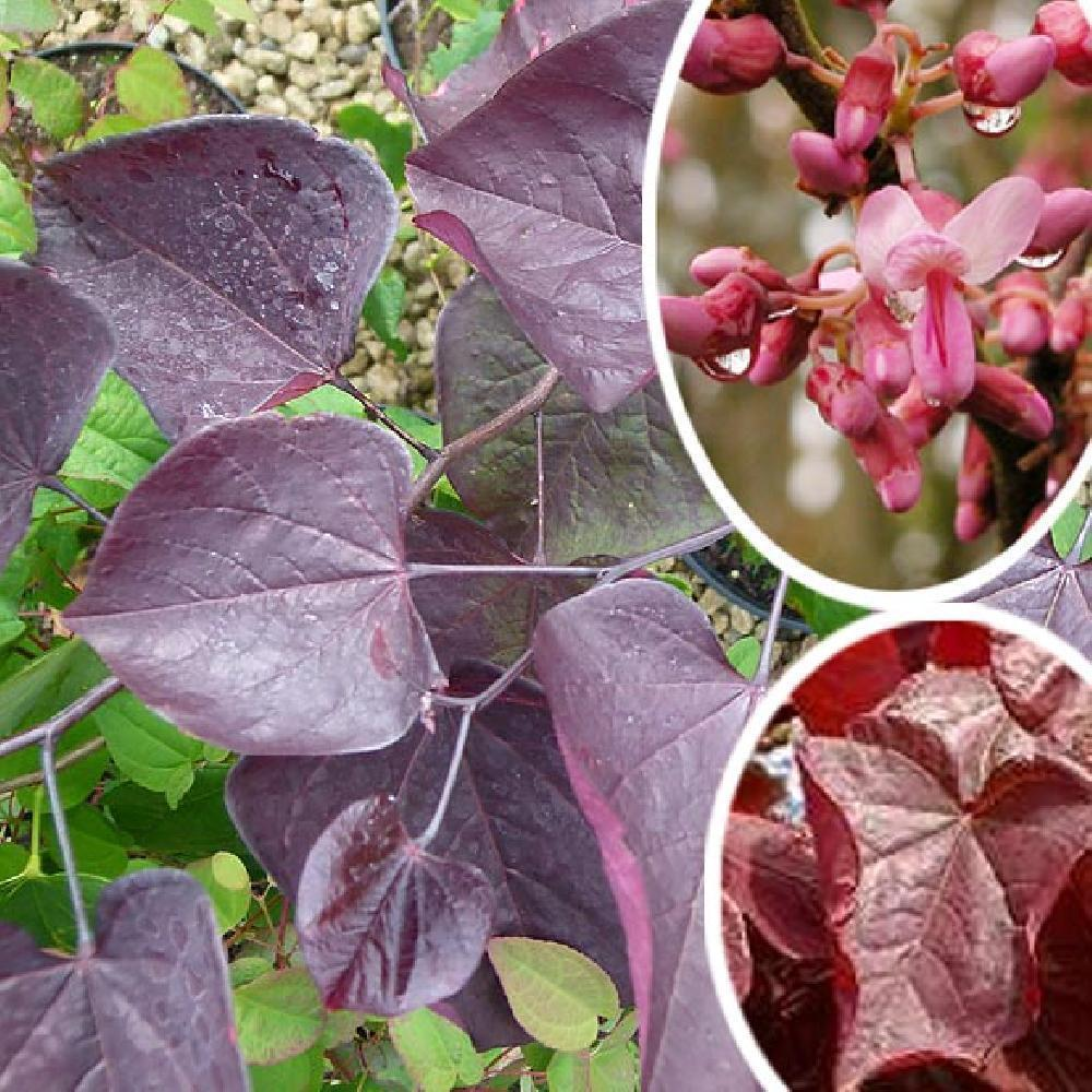 CERCIS canadensis Red Force' Gainier du Canada image 1