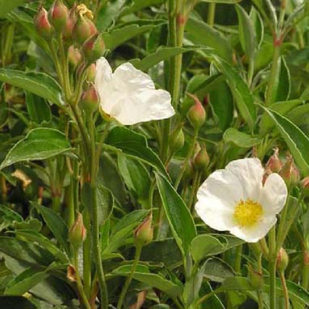 Cistus laurifolius ciste feuilles de laurier image 3 - Feuilles jaunes laurier rose ...