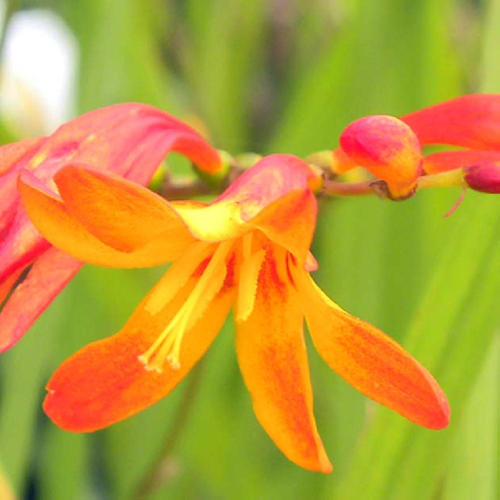 CROCOSMIA 'His Majesty' montbretia image 1