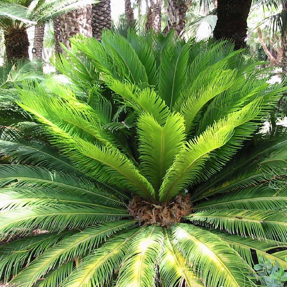 Cycas revoluta sagoutier cycas du japon p pini res lepage bretagne bord de mer - Sortes de palmiers ...