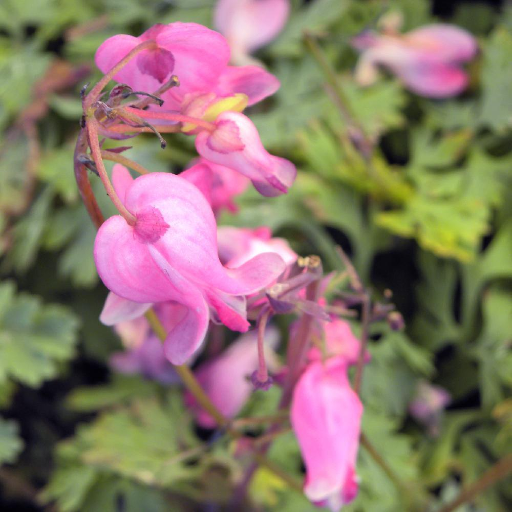DICENTRA 'King of Hearts' ®  image -1