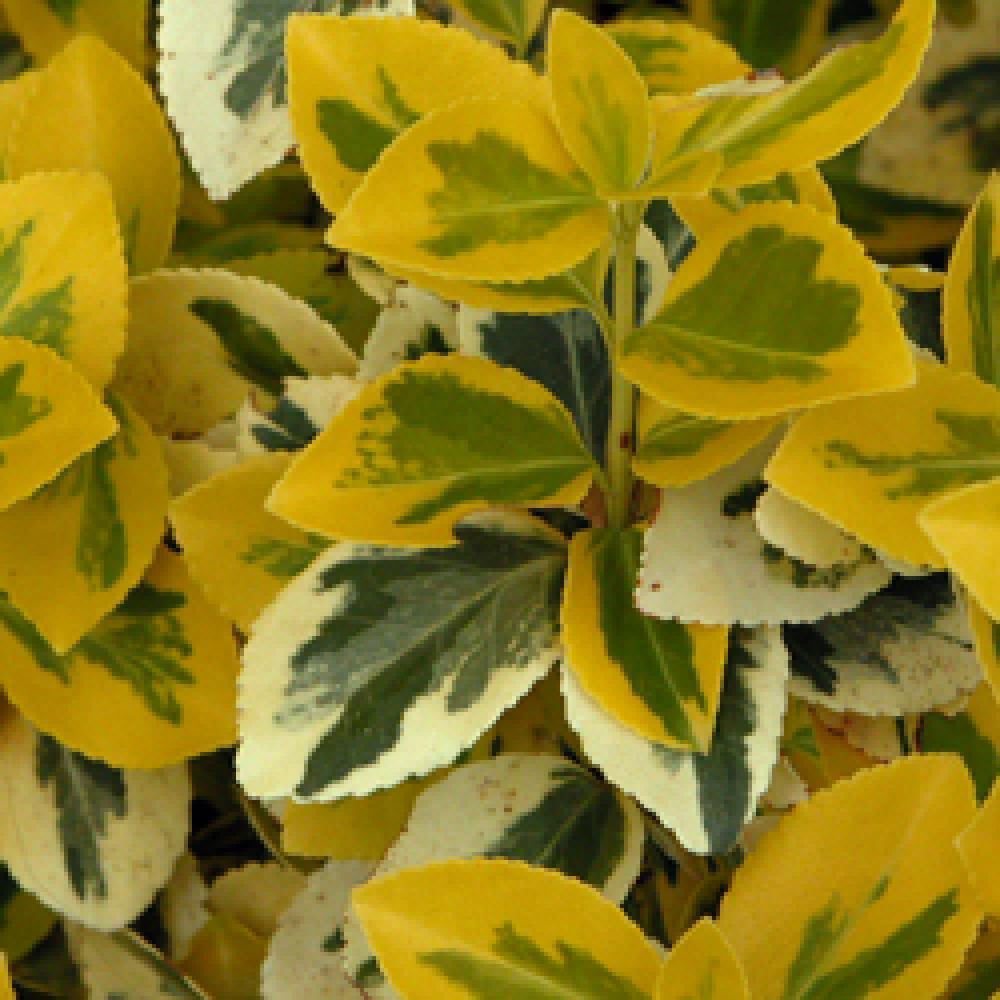 Arbuste Nain Persistant Plein Soleil euonymus fortunei 'emerald 'n' gold'
