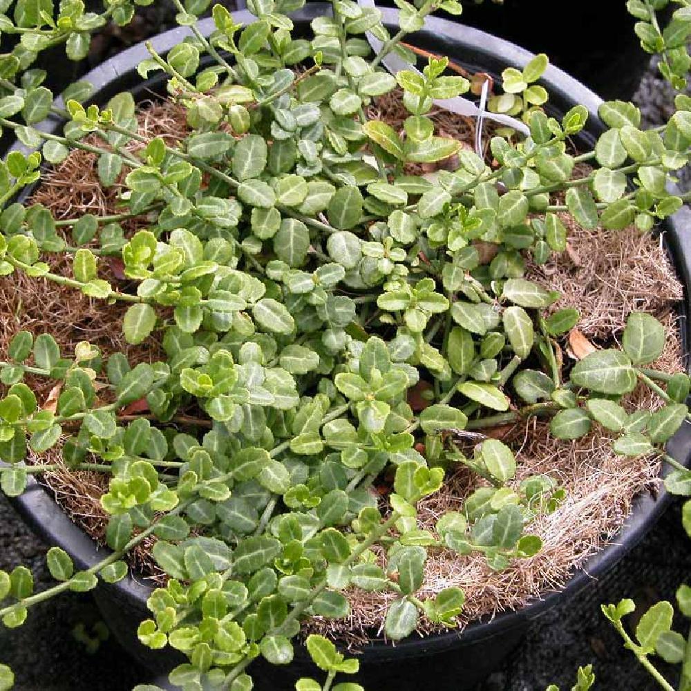 Arbuste Nain Persistant Plein Soleil euonymus fortunei 'minimus'