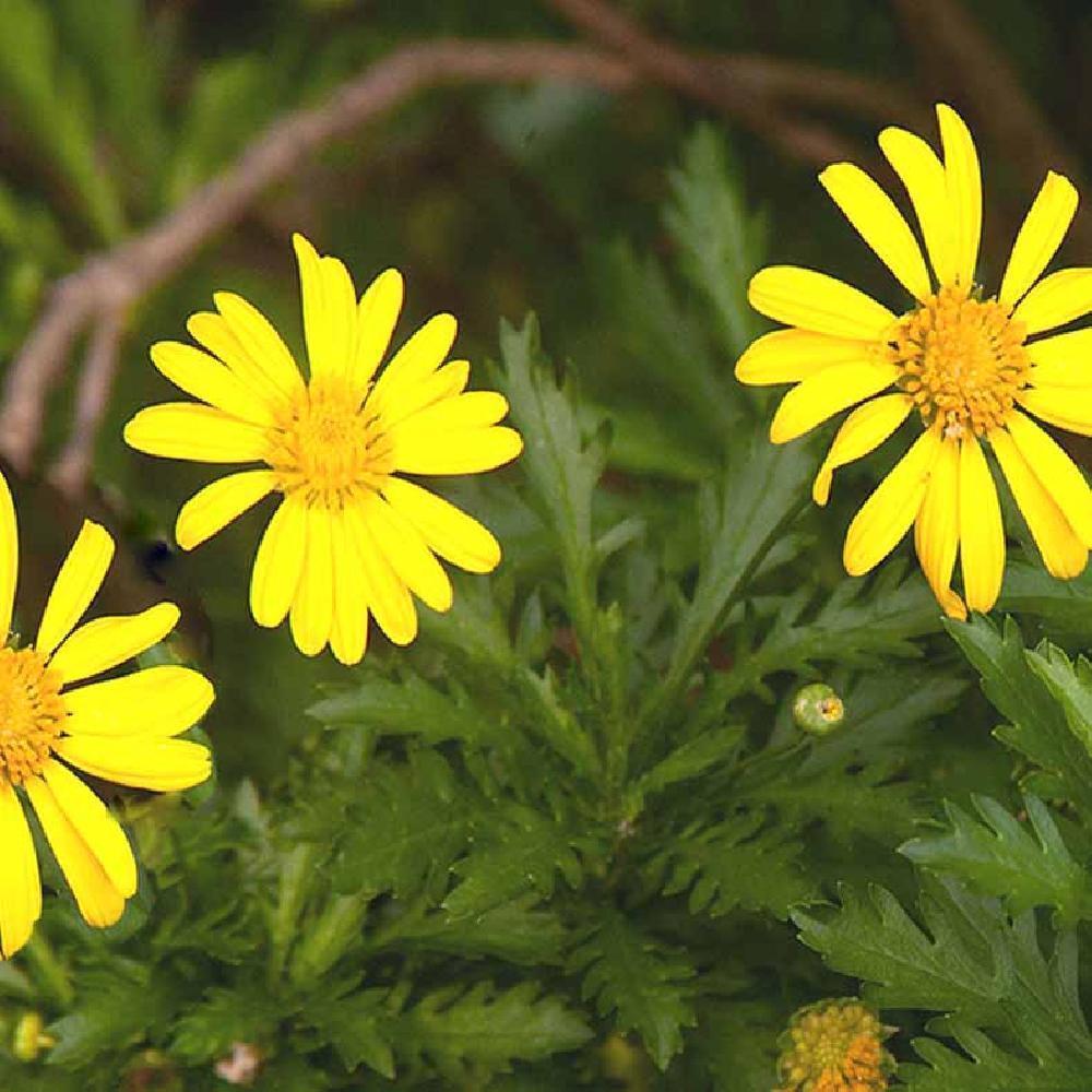 Euryops Chrysanthemoides Marguerite En Arbre Euryops A Fleur De