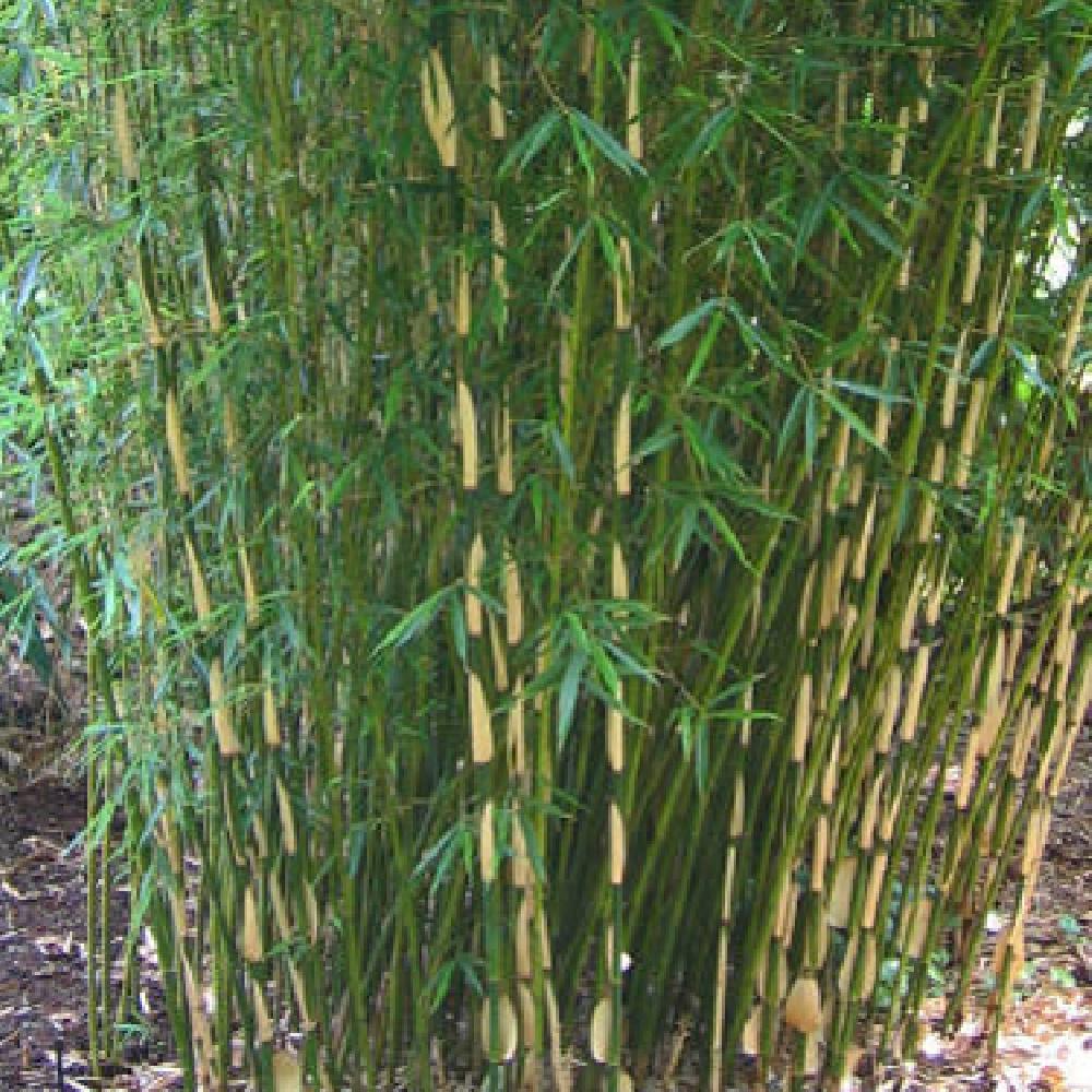 Bambou arundinaria