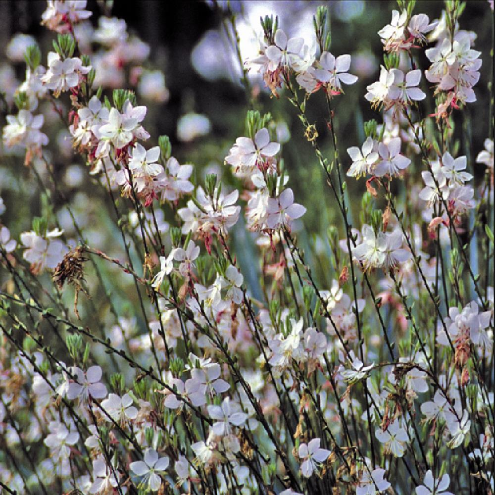 GAURA lindheimeri 'Summer Breeze'  image 1