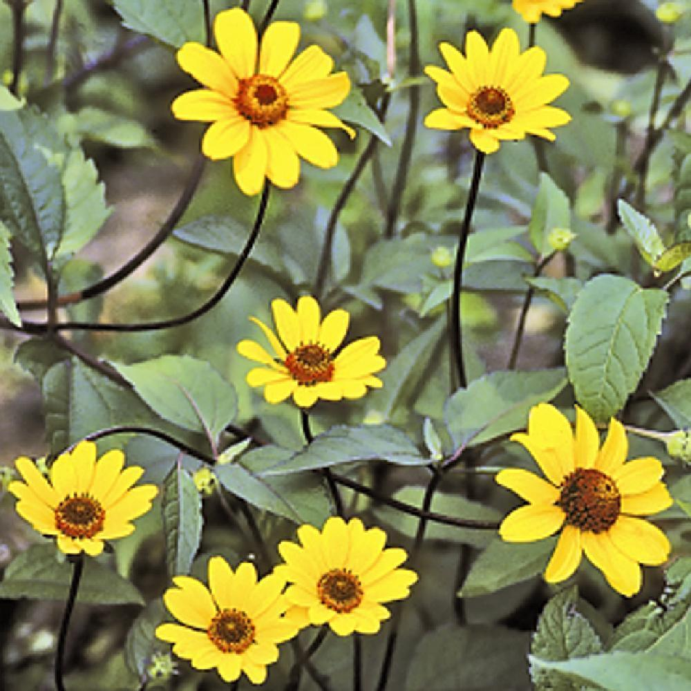 HELIOPSIS helianthoides 'Summer Nights'  image 1