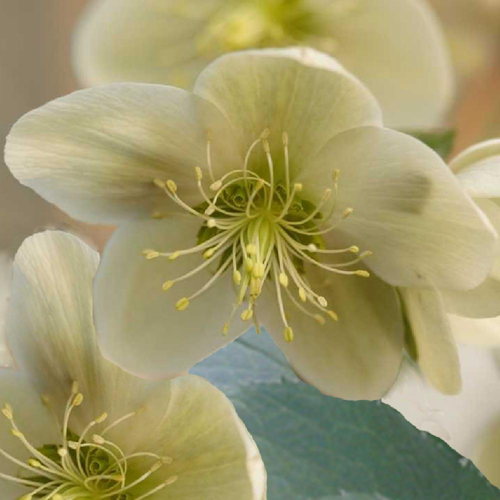 HELLEBORUS nigercors 'Candy Love' White  image 1