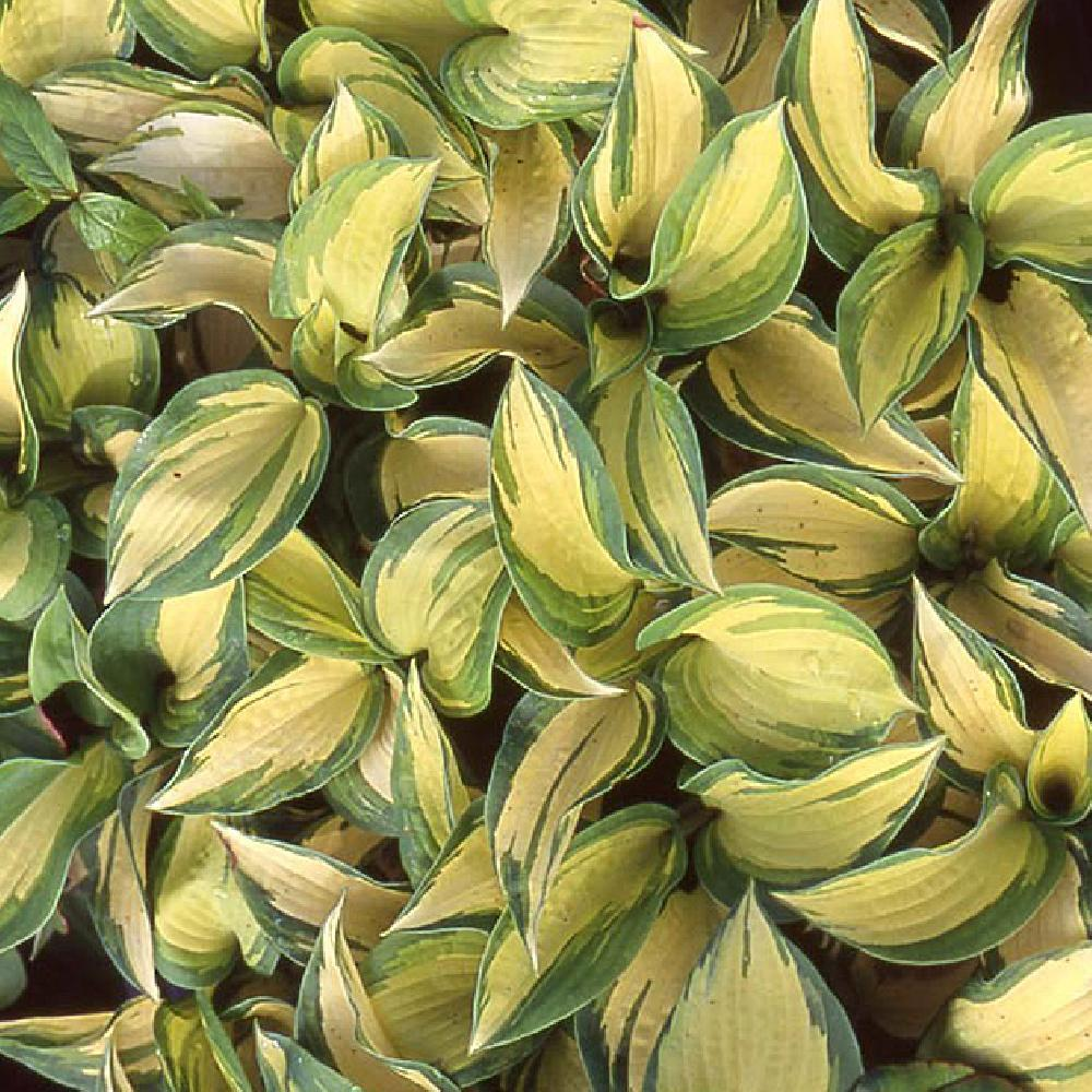 HOSTA 'Great Expectations'  image 1