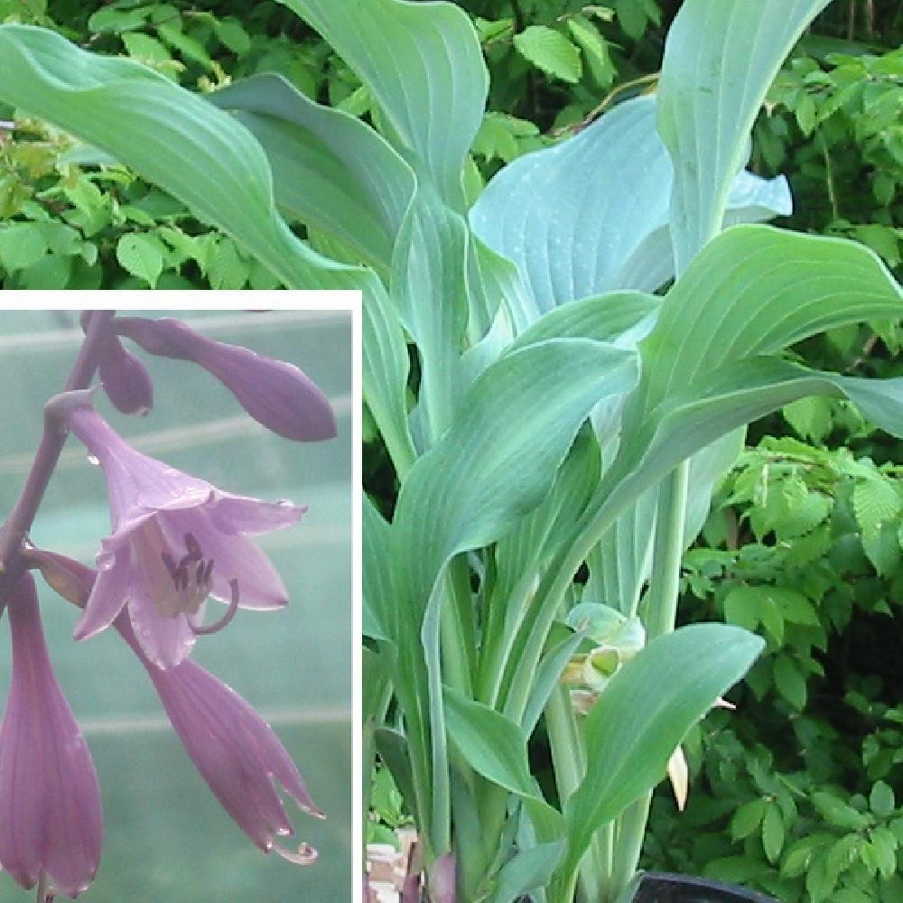 HOSTA 'Krossa Regal'  image 1