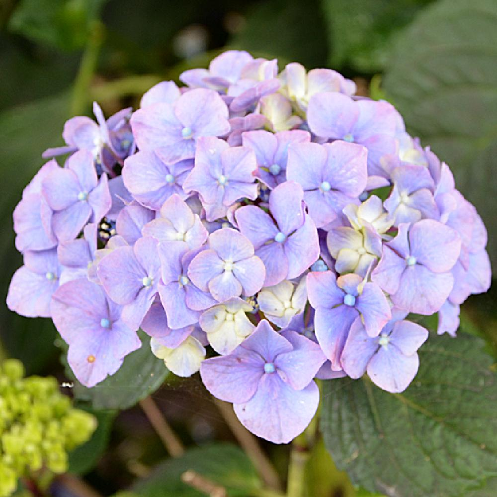 HYDRANGEA macrophylla EMOTION (Youmethree) Hortensia image 1