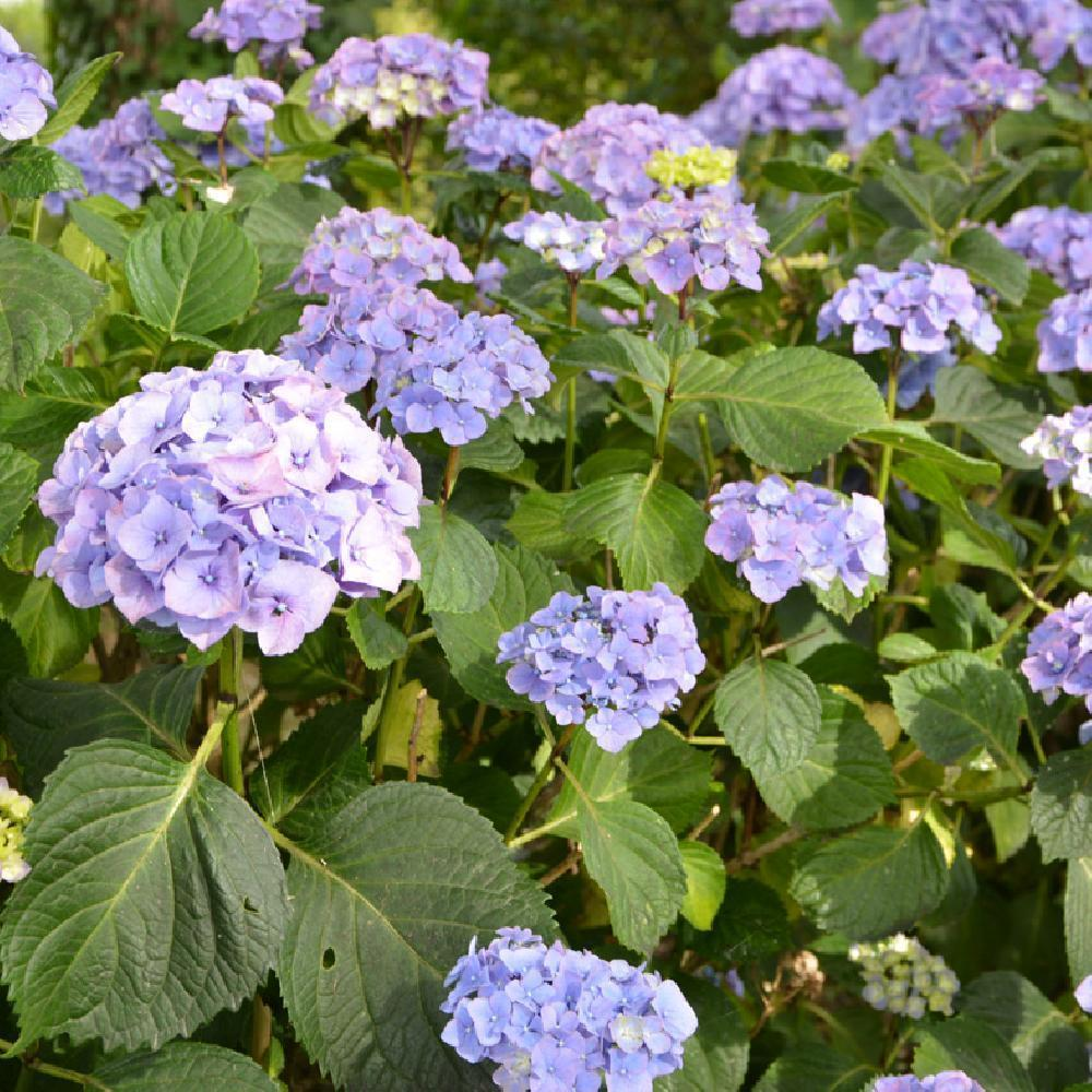 HYDRANGEA macrophylla EMOTION (Youmethree) Hortensia image 3