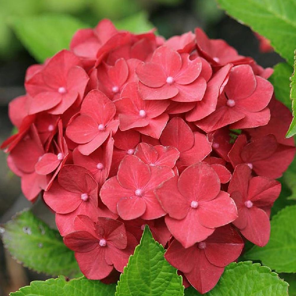 HYDRANGEA macrophylla 'Hot Red' Hortensia image 1