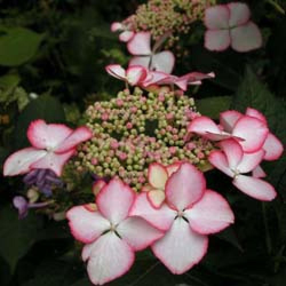 HYDRANGEA macrophylla 'Love You Kiss' Hortensia image 1