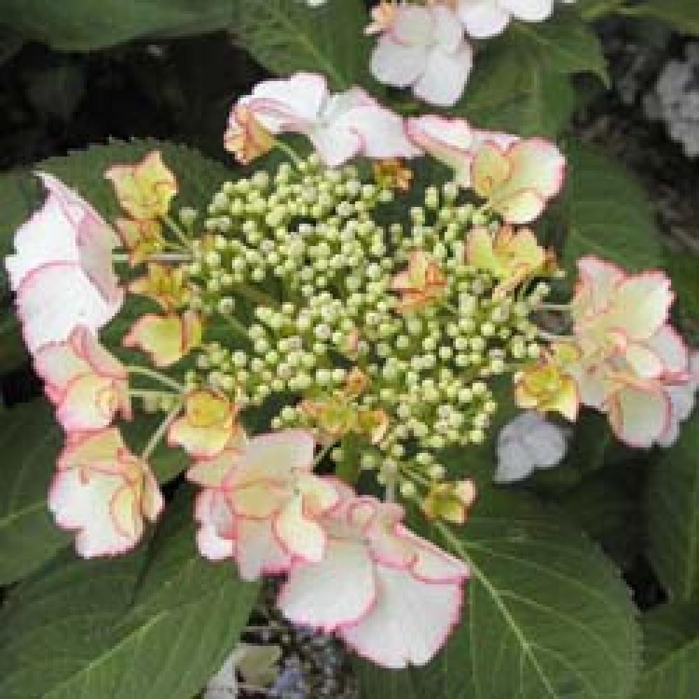 HYDRANGEA macrophylla 'Love You Kiss' Hortensia image 2