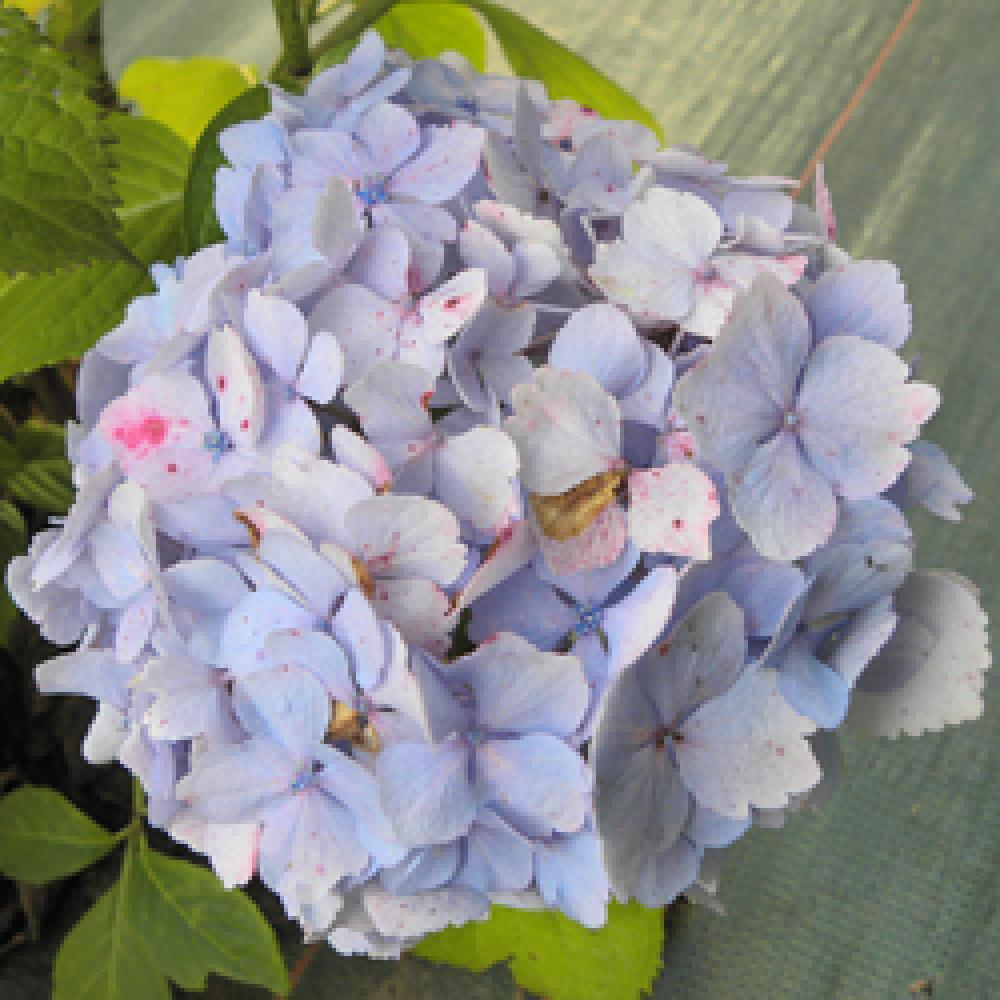 HYDRANGEA macrophylla 'Marie-Claire' Hortensia image 1